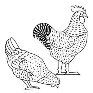 Курица картинки раскраски (34)