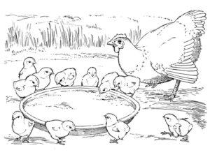 Курица картинки раскраски (9)