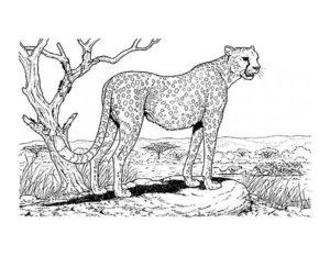 Леопард картинки раскраски (10)