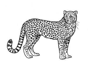 Леопард картинки раскраски (2)