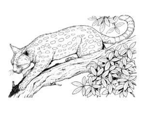 Леопард картинки раскраски (20)