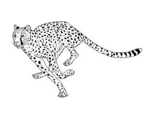Леопард картинки раскраски (25)