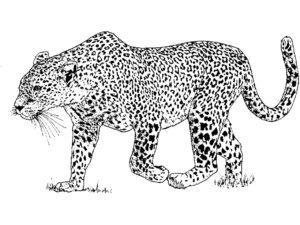 Леопард картинки раскраски (4)