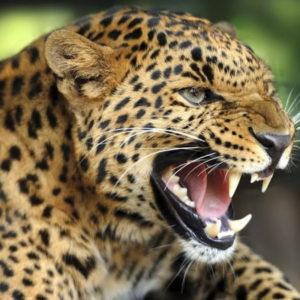 Леопард раскраски
