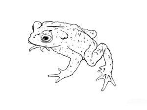Лягушка картинки раскраски (57)