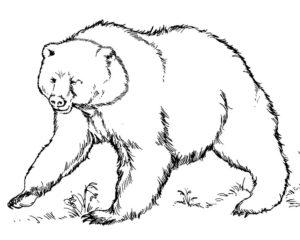 Медведи и мишки картинки раскраски (16)