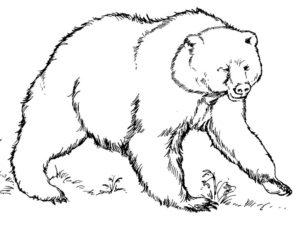 Медведи и мишки картинки раскраски (35)