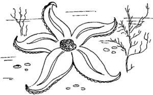 Морская звезда картинки раскраски (1)