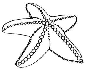 Морская звезда картинки раскраски (26)