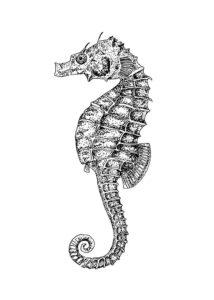 Морской конек картинки раскраски (39)