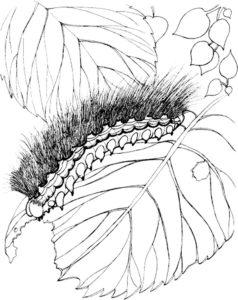 Насекомые гусеница картинки раскраски (27)