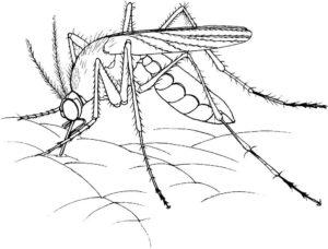 Насекомые комар картинки раскраски (30)