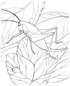 Насекомые кузнечик картинки раскраски (24)
