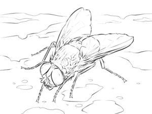 Насекомые муха картинки раскраски (13)