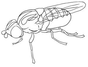 Насекомые муха картинки раскраски (22)
