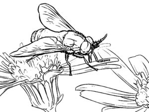 Насекомые муха картинки раскраски (25)