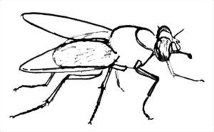 Насекомые муха картинки раскраски (46)