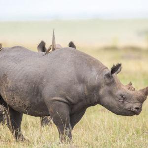 Носорог раскраски