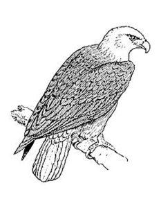 Орел картинки раскраски (14)