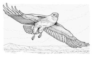 Орел картинки раскраски (44)