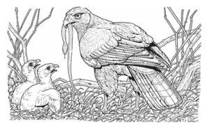 Орел картинки раскраски (45)