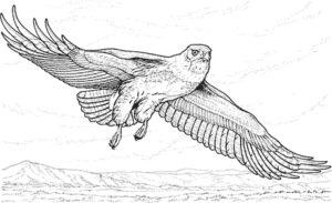 Орел картинки раскраски (6)