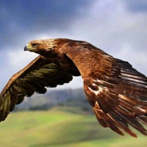 Орел раскраски