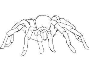 Паучки и пауки картинки раскраски (10)