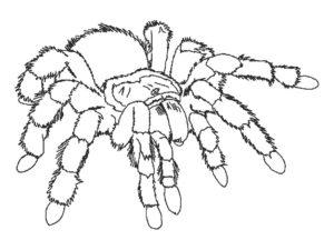 Паучки и пауки картинки раскраски (32)