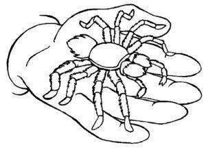 Паучки и пауки картинки раскраски (8)