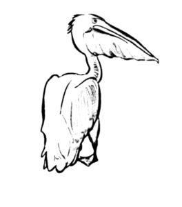 Пеликан картинки раскраски (11)