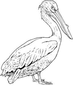 Пеликан картинки раскраски (13)