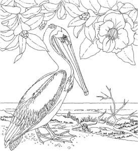 Пеликан картинки раскраски (30)