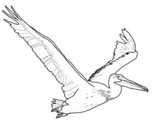 Пеликан картинки раскраски (35)
