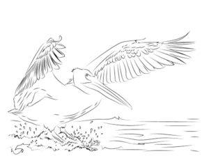 Пеликан картинки раскраски (36)