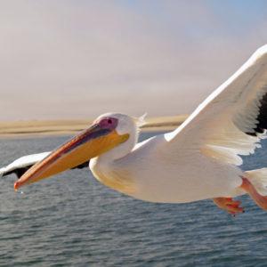 Пеликан раскраски