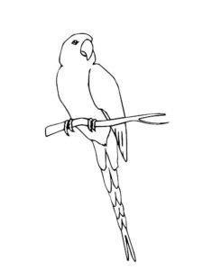 Попугай ара картинки раскраски (12)