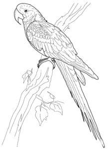Попугай ара картинки раскраски (2)