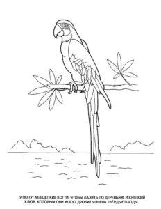 Попугай ара картинки раскраски (7)