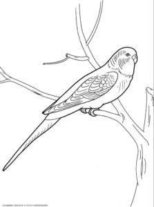 Попугай раскраска картинки раскраски (3)