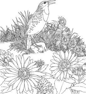 Птицы жаворонок картинки раскраски (10)