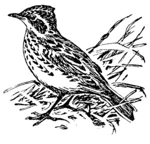 Птицы жаворонок картинки раскраски (15)