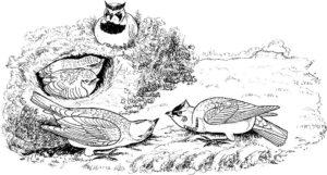 Птицы жаворонок картинки раскраски (2)