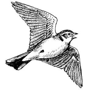Птицы жаворонок картинки раскраски (5)