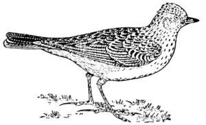 Птицы жаворонок картинки раскраски (6)