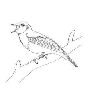 Птицы соловей картинки раскраски (12)
