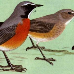 Птицы соловей раскраски