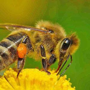 Пчела раскраски