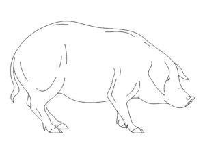Свинья картинки раскраски (11)