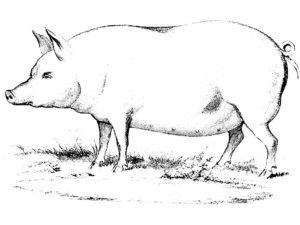 Свинья картинки раскраски (28)